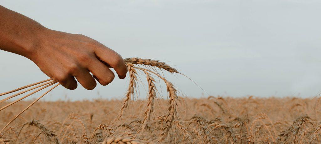 spighe di grano tenute in mano
